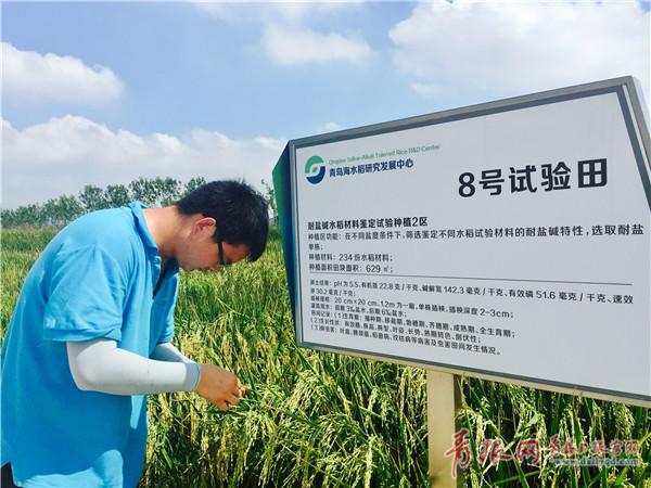 青岛首批海水稻9月底可收获 端上餐桌还得再等等