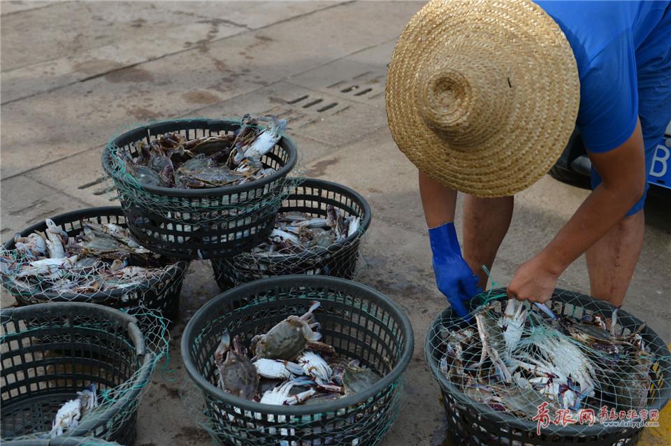 青岛渔民海捕归来 一斤重大螃蟹供不应求