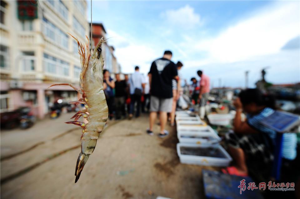 2017年9月4日,在青岛市沙子口码头,刚刚上岸的海捕大虾.