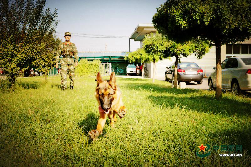 一只军犬的述职报告:我凭什么名震犬圈(图)