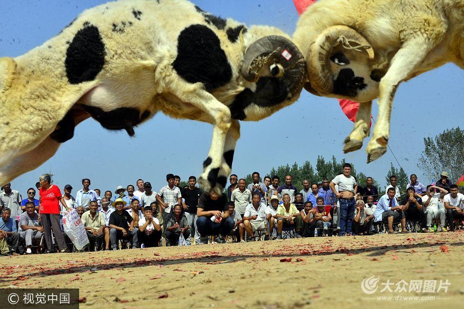 聊城举行趣味斗羊大赛 场面震撼千人围观(图)