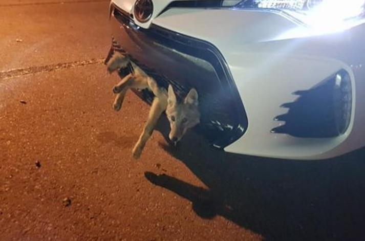女司机开车撞了一头狼 开30公里后下车一看惊呆