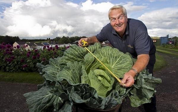 老人种出巨型卷心菜 直径1.5米是普通菜的50倍