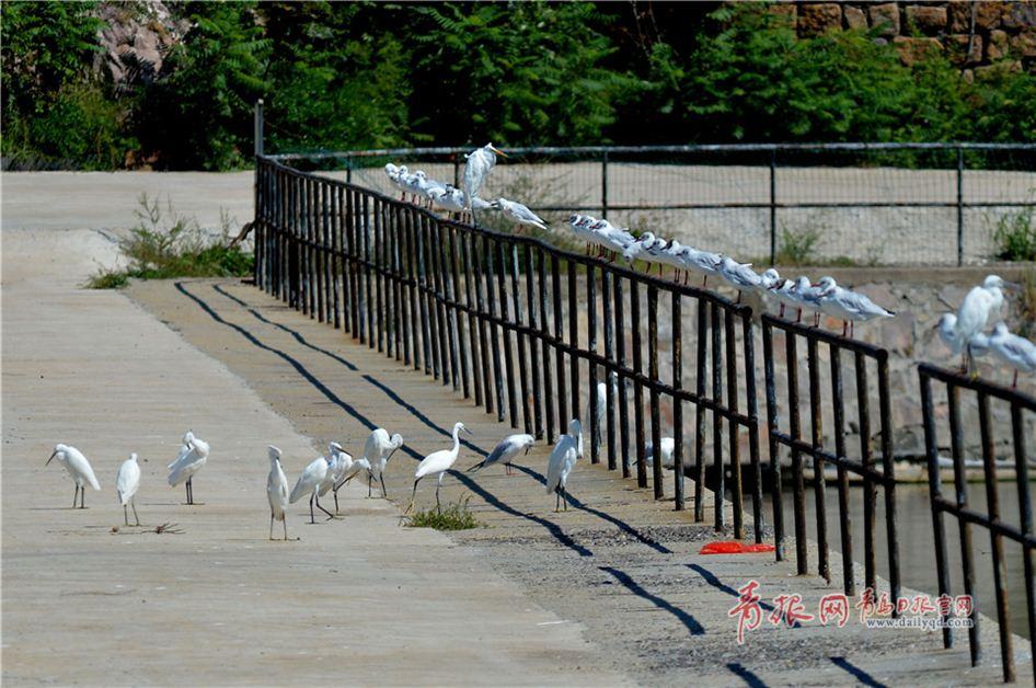 鸥鹭回迁青岛:渔民与候鸟绘生态美景