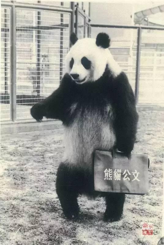 1990北京亚运会吉祥物的原型熊猫去世 享年37岁