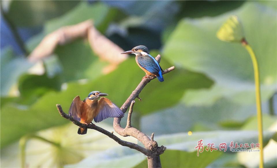 鸟偷拍_中山公园小西湖趣味一幕:翠鸟抢地盘被偷拍