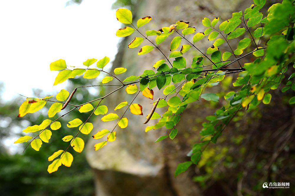 高清:崂山彩叶季悄然开启绚丽之美不能错过