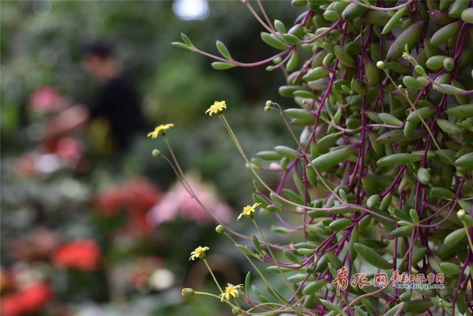 国庆中秋佳节临近 青岛枯桃花卉市场将迎销售高峰