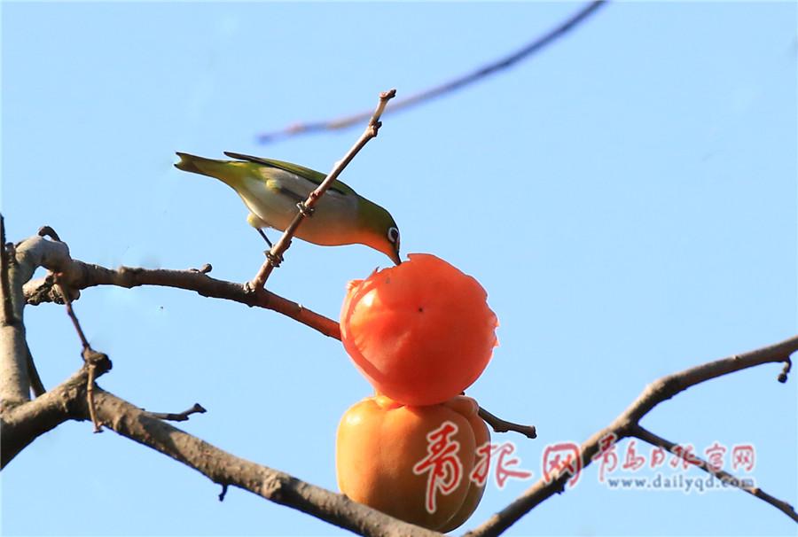 中山公园柿子黄 绣眼鸟枝头觅食大快朵颐
