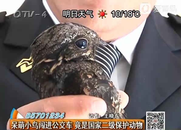 呆萌小鸟闯进公交车 竟是国家二级保护动物