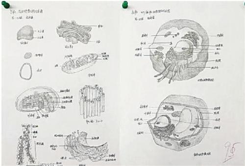 高中生手绘动植物细胞 对比原图简直以假乱真
