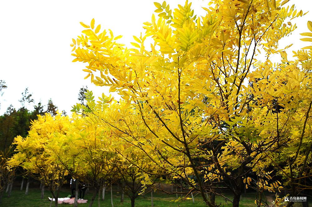 高清:彩叶挂满枝头的日子 晒太平角深秋之美