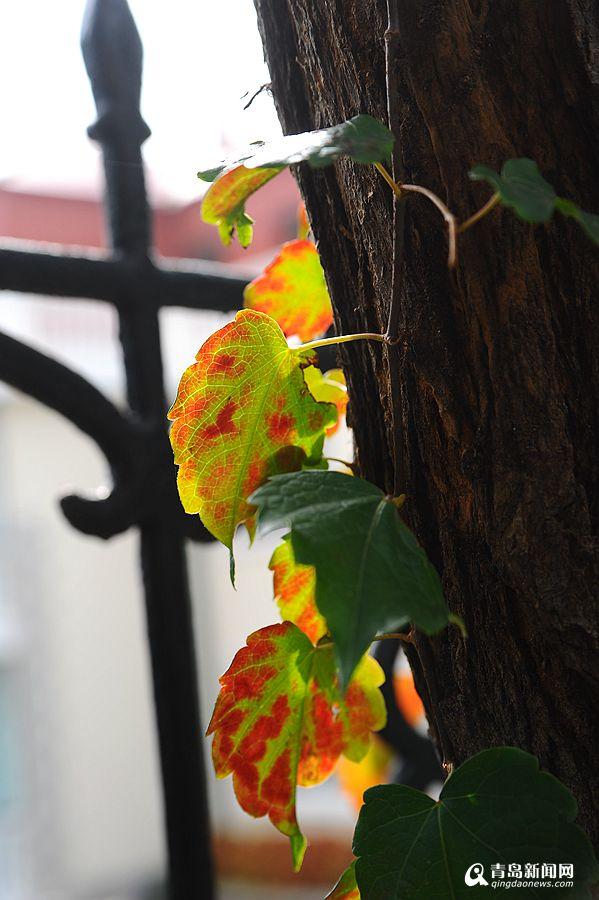 高清:彩叶挂满枝头的日子晒太平角深秋之美