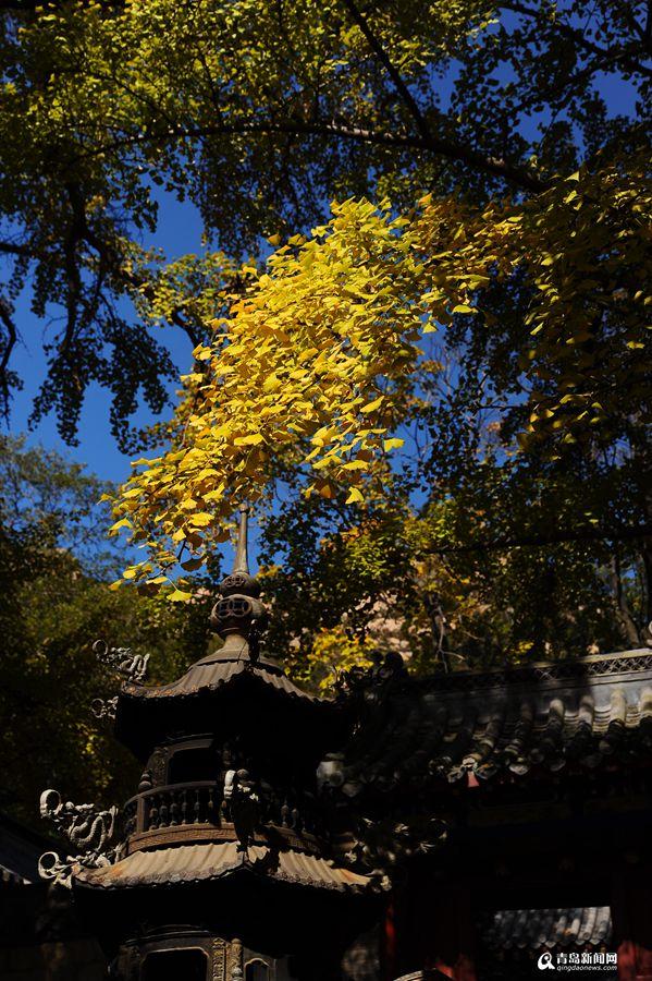 高清:太清宫银杏古树披秋装一抹金黄惹人醉