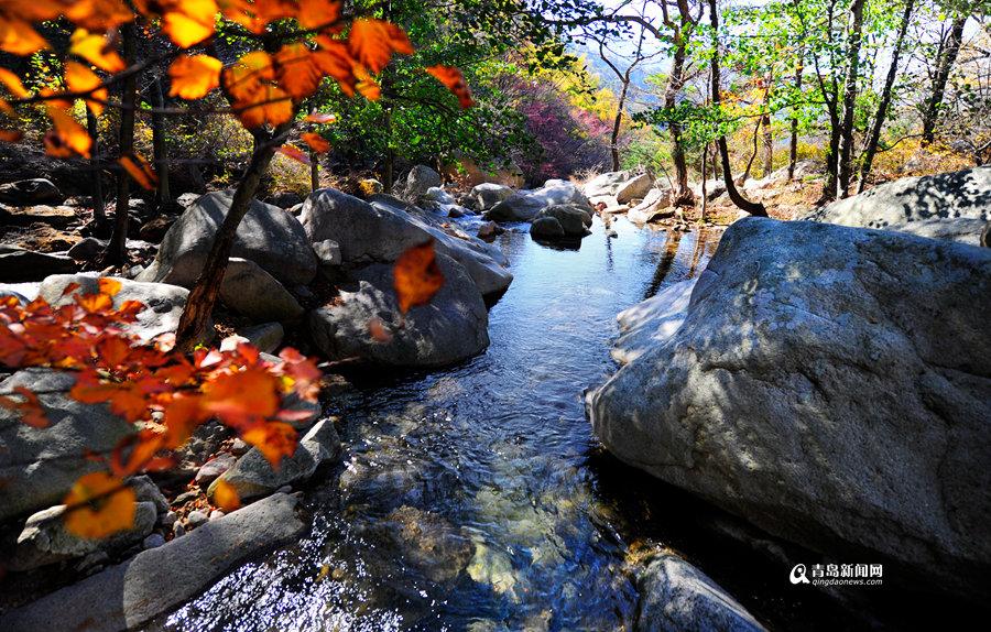 秋韵崂山:新闻网邀您赏醉美红叶 看斑斓秋色