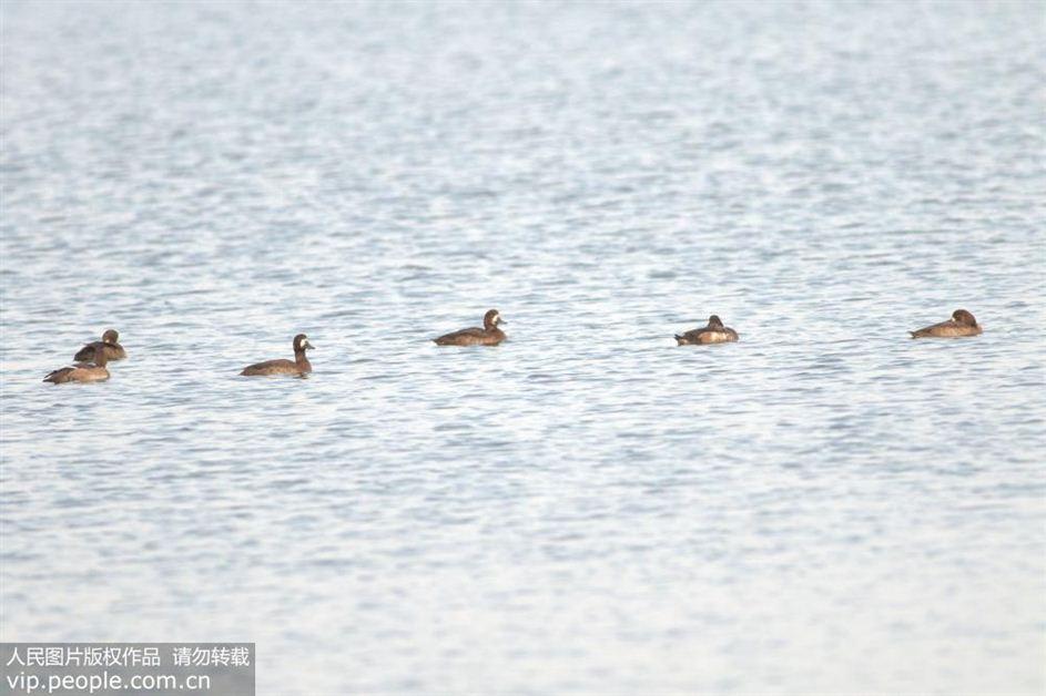 青岛迎候鸟大军过境 濒危灰鹤现身胶州湾湿地