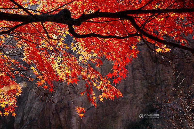 高清:赴一场红叶之约 看网友镜头下的秋韵崂山