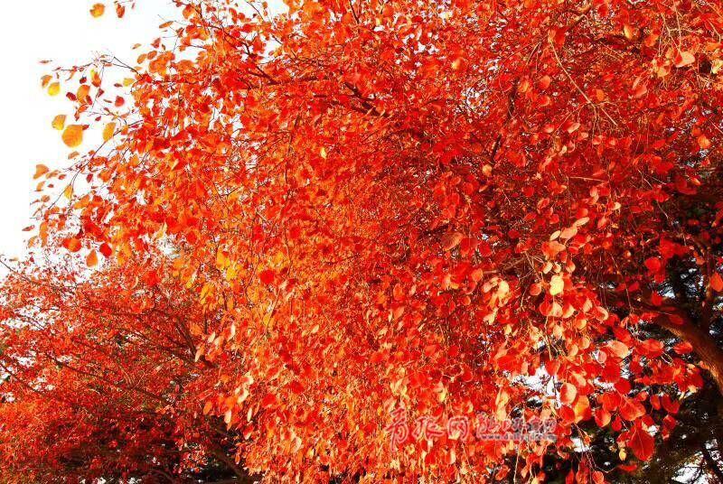 最美枫叶!青岛棘洪滩水上公园 漫天红叶初冬意