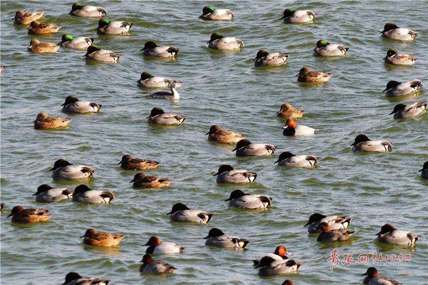 大群近危物种罗纹鸭来青岛越冬 觅食场面壮观