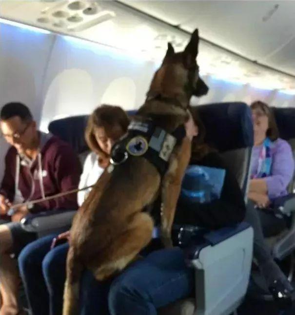 ▼ 这条狗狗厉害了 和美国海军一起工作十二年后退休 主人在飞机上