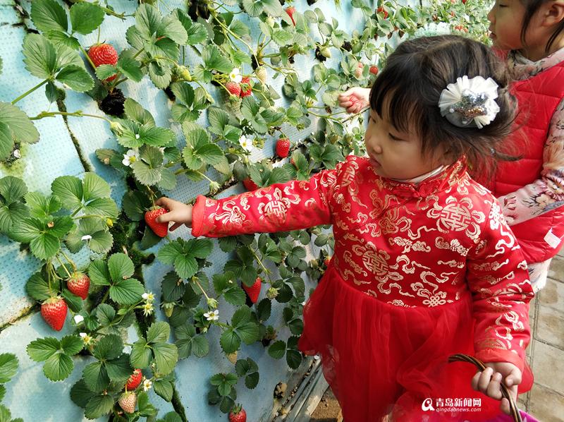 春节来夏庄摘草莓吧 城阳区采摘旅游拉开序幕