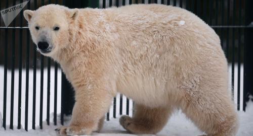 电子游戏网址大全:俄罗斯年龄最大北极熊在动物园去世_享年38岁