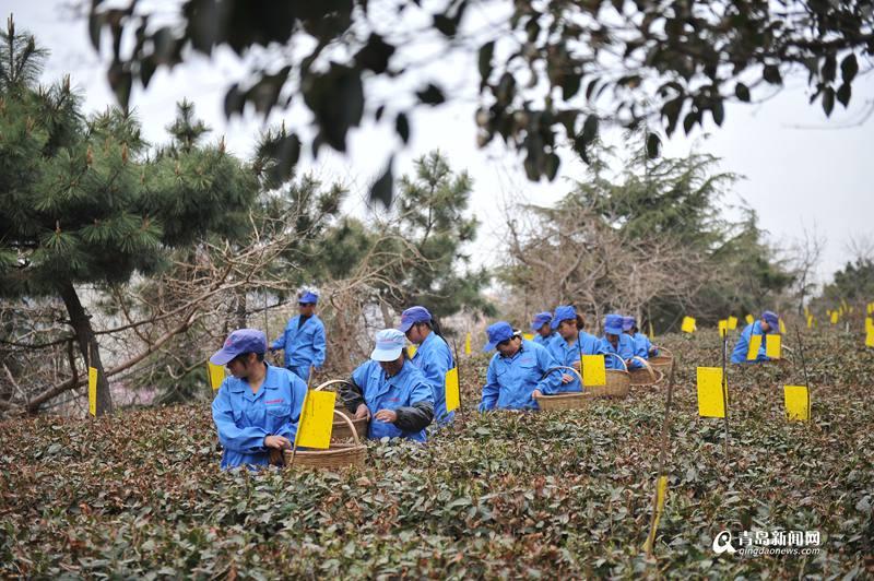 崂山头茬大田茶正式采摘 有机春茶最贵卖到8600(图)