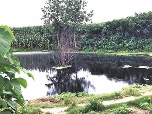 猪场藏身玉米地染黑河塘 为掩盖臭味河塘边烧垃圾
