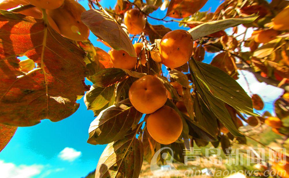 高清:崂山内地大柿子深秋丰收 甜糯多汁零售每斤3元