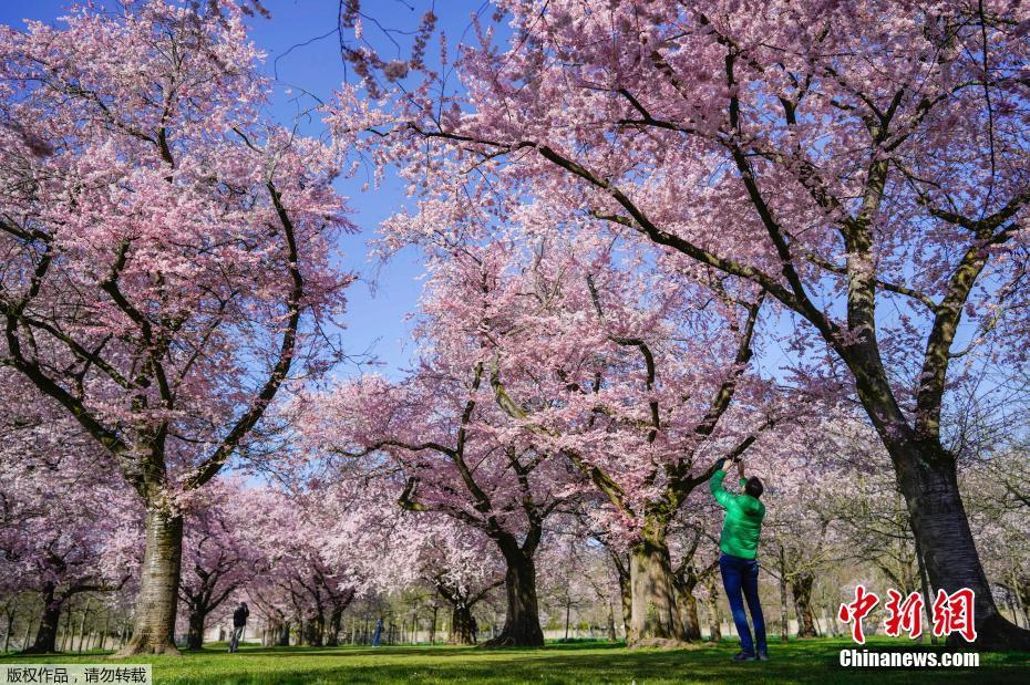 日本气象厅宣布东京最先进入樱花全盛期