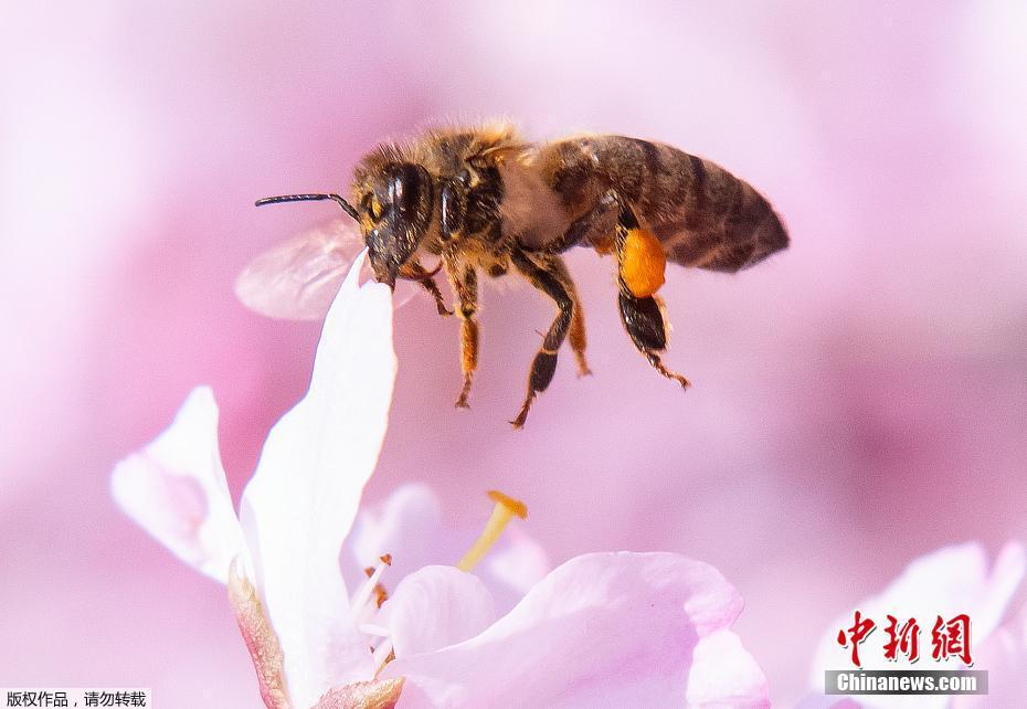 德国波恩樱花盛开繁花朵朵春意盎然