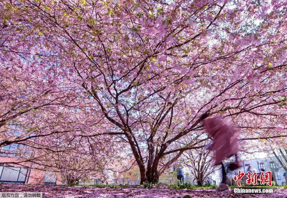 德国波恩樱花怒放繁花朵朵春意盎然