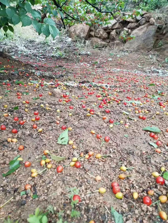 冰雹袭来 青岛这里的樱桃被打落一地受损严峻