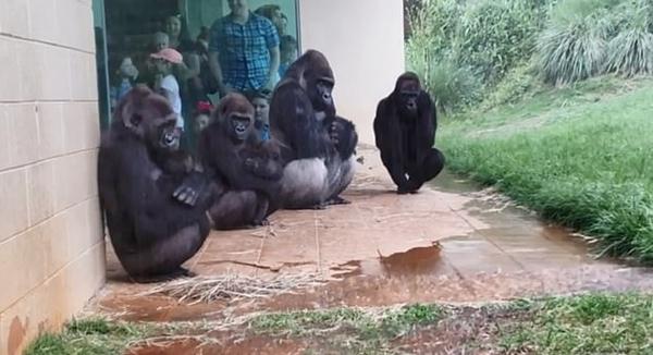 美动物园大猩猩墙角躲雨 动作表情滑稽成网红,田代沙耶香