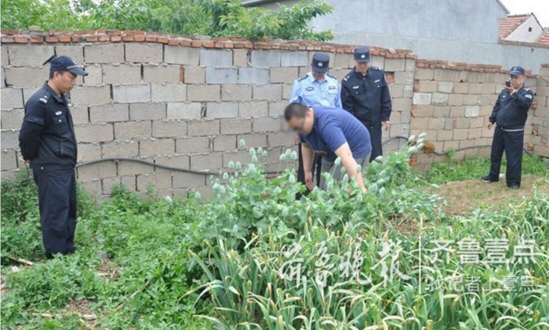难挡罂粟花颜值诱惑 女子悄悄在菜园种了158棵