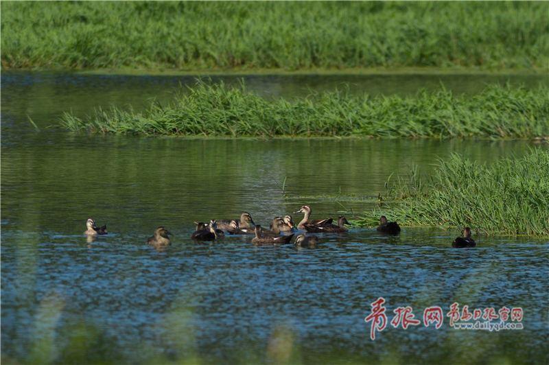 水碧河清生态美实拍白沙河水鸟育