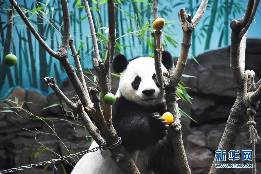 济南高温潮湿大熊猫吹空调吃冰镇水果清凉一夏