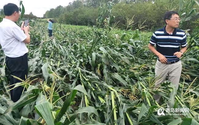 台风过境:青岛受灾农作物20万亩 损失3542万