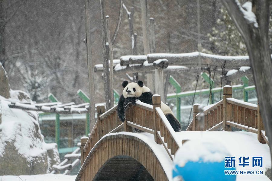 舒坦呐!大熊猫瘫坐享受雪景