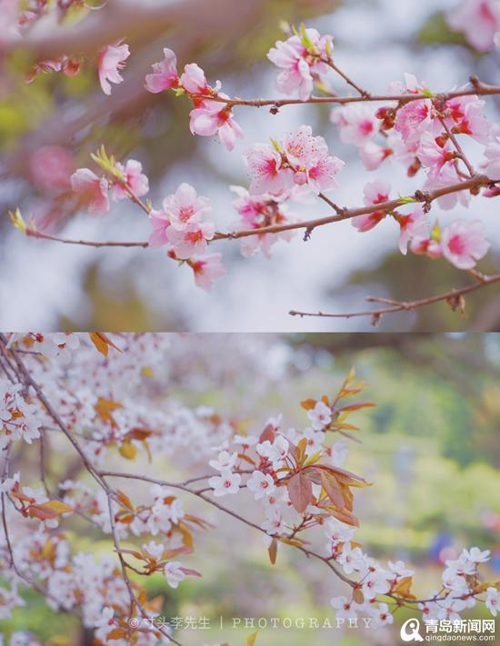 """""""最强""""樱花季来了 青岛90后男孩拍出漫画风"""