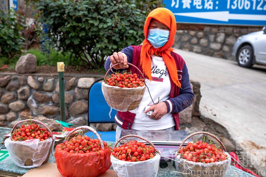 崂山北宅樱桃开始采摘 果农脸上挂着丰收的喜悦