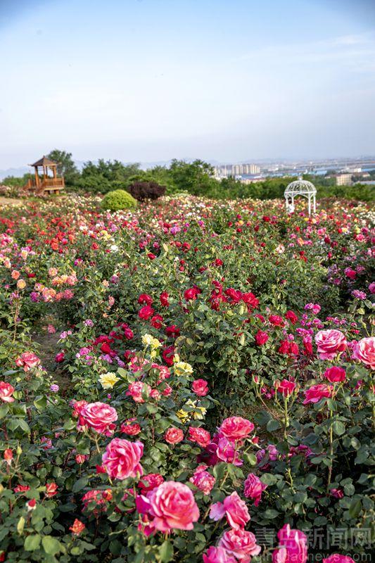 青岛马山玫瑰园进入盛花期 玫瑰花争奇斗艳香气袭人