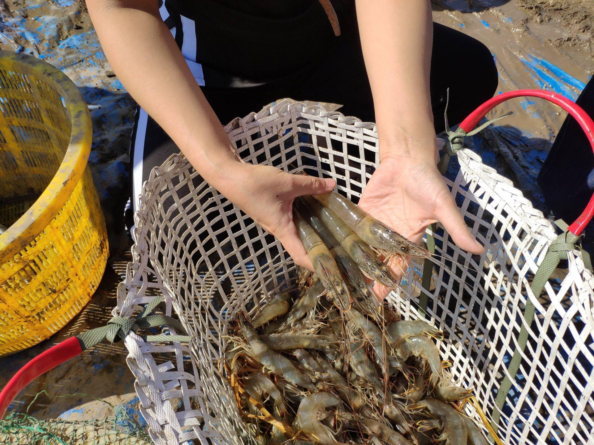 青岛海鲜养成记之对虾:已在青培育出5个新品种一生约50次蜕皮
