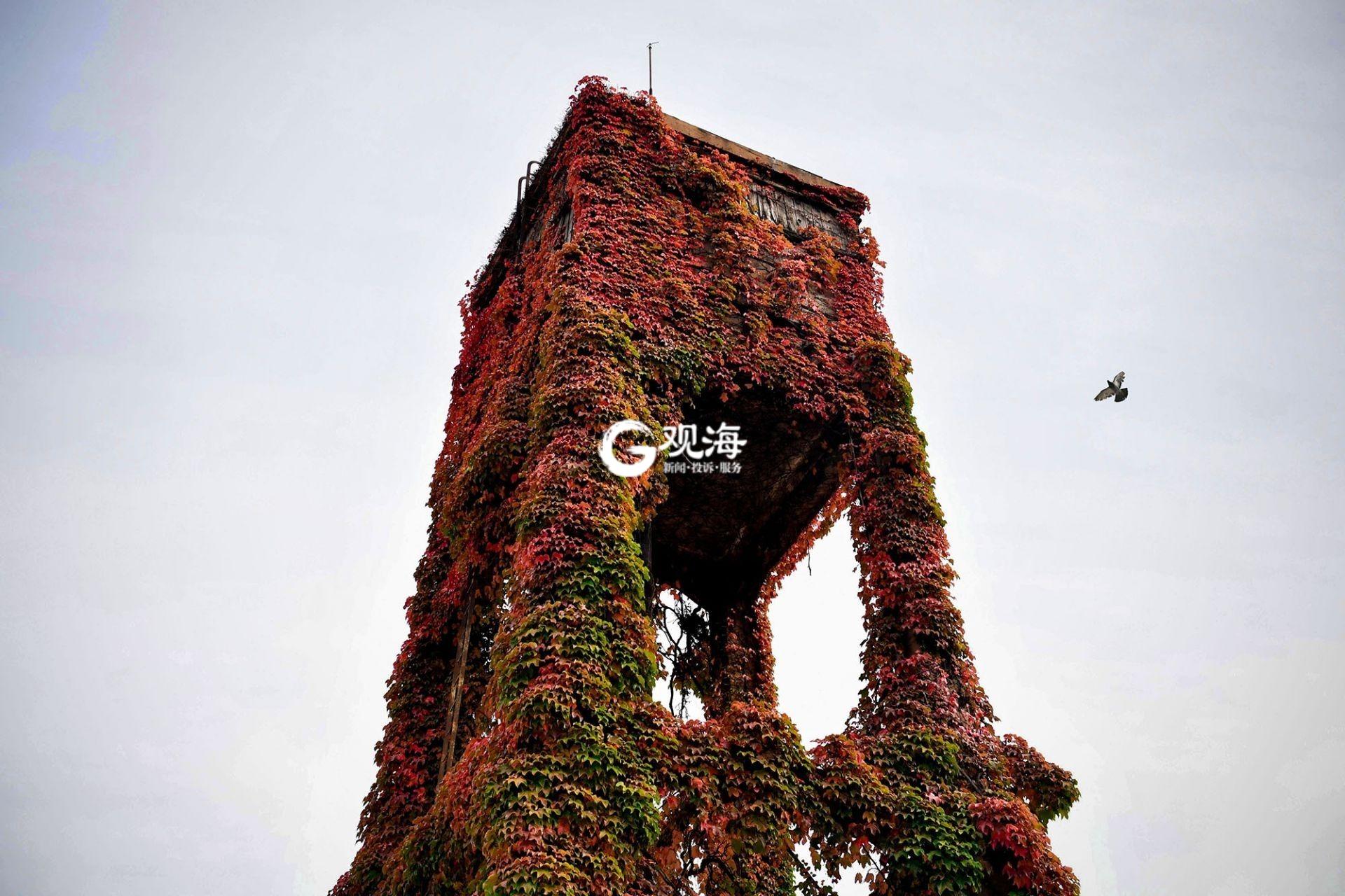 """百年""""爬墙虎""""映红老水塔 这也太美了吧?"""