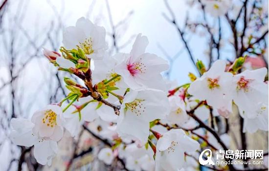 """春色满园关不住 山大青岛校区邀您来看""""校园春景"""