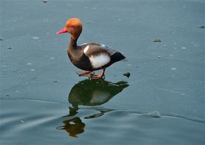 多种候鸟变留鸟青岛过冬 市民砸冰面投食