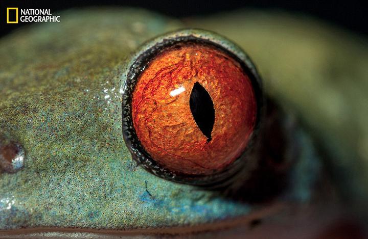 http://news.qingdaonews.com/images/attachement/jpg/site1/20160121/74e50b7338a6180abb971b.jpg /enpproperty-->  据英国《每日邮报》1月19日报道,美国《国家地理》杂志2月刊将刊登一组动物眼睛特写摄影作品,记录了动物眼睛多样的花纹和绚丽的色彩,展现自然进化的奇迹。这些动物涉及哺乳类、鸟类、两栖类以及爬行类。 在这组摄影作品中,每种动物眼睛的形状、大小、颜色各不相同:夜行壁虎的眼睛有狭长