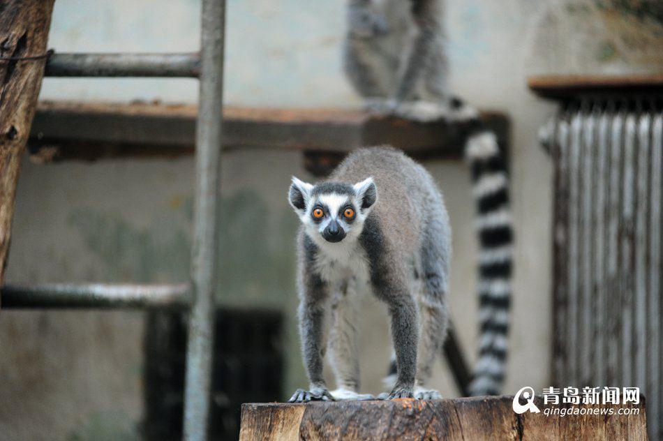 """高清:猴年观""""猴景"""" 青岛动物园猴山人气爆棚"""