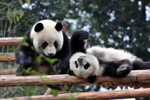 比大熊猫还珍贵的动物