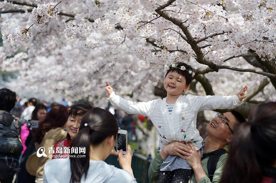 高清:赏樱客挤爆中山公园 花海人海景象壮观 - 青岛